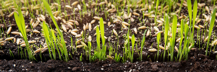 Fototapeta Anzucht und Wachstum von Pflanzen, Gräser Keimlinge in der Erde obraz