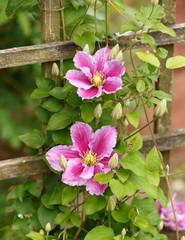 Large flowers of Clematis Piilu in summer garden.