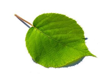 Kiwi leaf isolated on white background