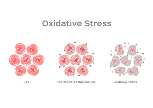 Oxidative Stress cell vector / free radical
