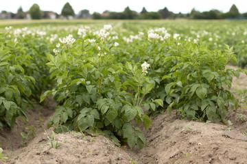 Kartoffelfeld, blühende Kartoffelpflanze, Blüte, Feld Fotoväggar