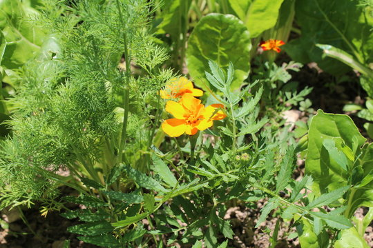 Gardening using permaculture principles, synergy between plants, pumpkins, dill, nasturtium, onion, spinach, sunflower, tomato, tagetes, marygold and other plants in my organic garden