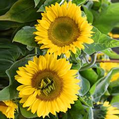 Sonnenblumen, groß, Kerne