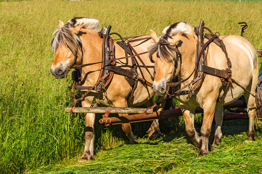 Fjord Horses working on a field working with the hay