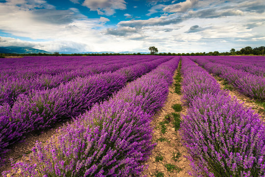 Perfect lavender field