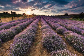 Scenic lavender landscape
