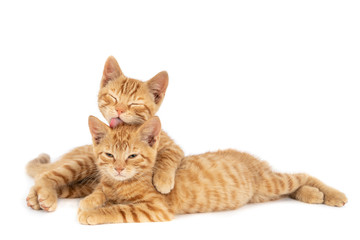 Two ginger kittens on white. One licking the other.jpg