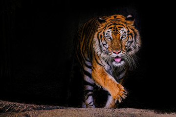 Spoed Fotobehang Tijger Tiger portrait of a bengal tiger in Thailand on a black background