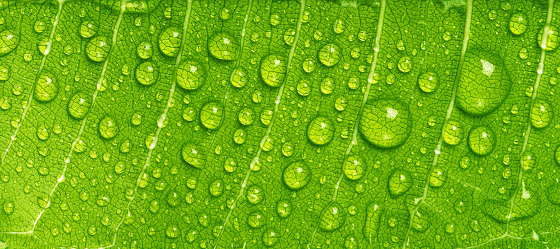 Close up rain drops on green leaf, water and Panorama water and nature background concept