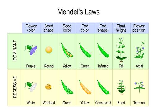 Mendel's Experiment. biological inheritance