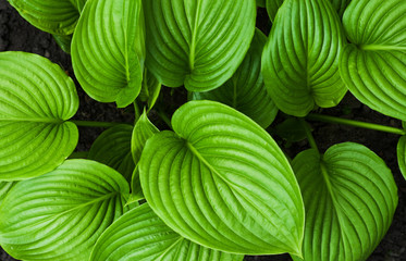The texture of the hosta leaves. Natural floral ornament.