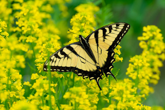 Swallowtail Butterfly From The Smoky Mountains