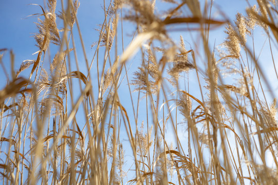High dry reed in sunny winter days in germany