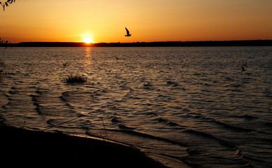 Gull flies over a lake during sunset near the town of Vileika