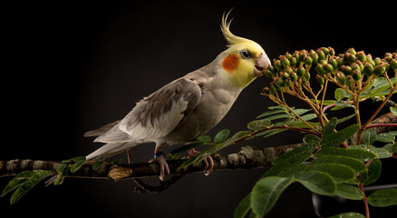 Cockatiel Eating Greens, Cute Parakeet close up, isolated on black background, studio