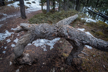 a strange tree that resembles someone bending over.  the tree must have fallen over in a storm and stayed alive somehow