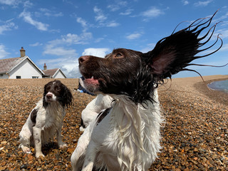 Dogs play on the beach at Shingle Street, Suffolk