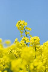 黄色の菜の花