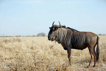 Blue Wildebeest (Connochaetes taurinus) on the Savannah. Satara, Kruger Park, South Africa