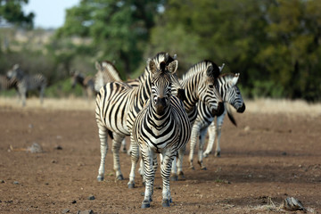 Group of Burchell's Zebras (Equus burchelli. Satara, Kruger Park, South Africa