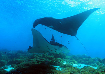 Two Reef Manta Rays (Manta Alfredi), a Black one and a White, Swimming over the Reef. Komodo, Indonesia