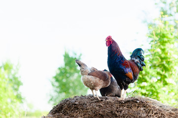 A colorful blue-red rooster stands on a dung heap and guards two hens standing nearby. Light blue, almost white sky is good for editing and pasting any sky from another photo.