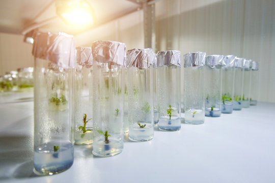 Cloned decorative micro plants in test tubes with nutrient medium. Micropropagation technology in vitro