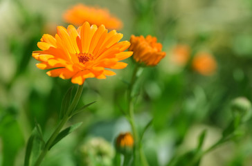 Pot Marigold (Calendula officinalis) on blur background. Orange flowering medicinal plant of the family Asteraceae.