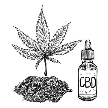 Marijuana, cbd oil and marijuana bud drawing on white background. Hemp plant sketch.  , Vector