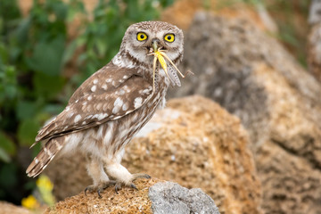 Fototapete - Little owl, Athene noctua, stands on a stone with a locust in its beak