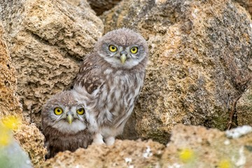 Fototapete - Two young Little owl, Athene noctua, peeking out of a hole in the rocks