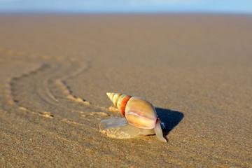 Plough snail (Bulliua digitalis), a species of sea snail, on the beach, South Africa .