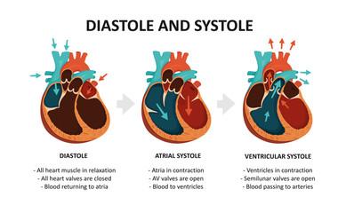 Diastole And Systole. Cardiac cycle