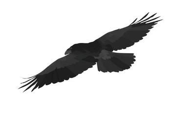 Flying crow. Northern Raven. Vector image.