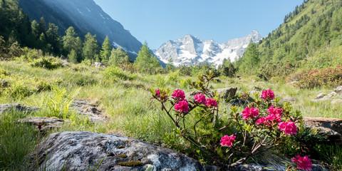 Fototapete - Panorama einer Berglandschaft mit Alpenrosen und Gletscher im Hintergrund