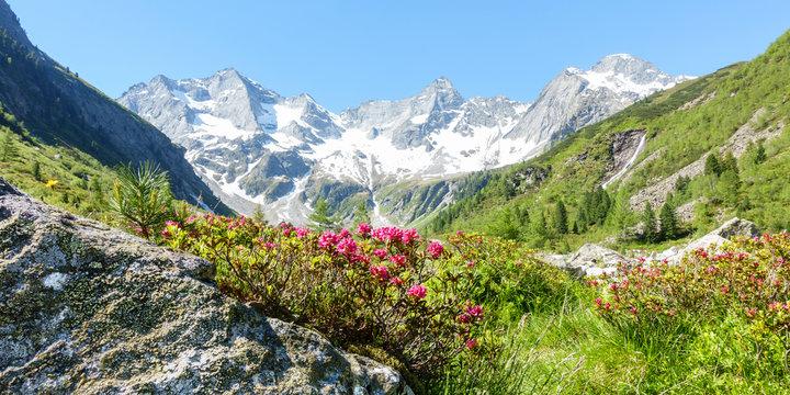 Panorama einer Berglandschaft mit Alpenrosen und Gletscher im Hintergrund