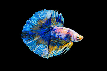 Foto op Plexiglas Vissen The moving moment beautiful of blue siamese betta fish or fancy splendens fighting fish in thailand on black background. Thailand called Pla-kad or half moon fish.