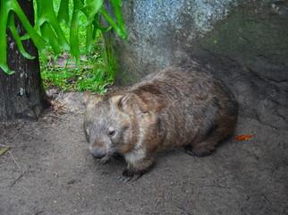 Beerwah, Australia - Apr 22, 2019. Australian wombat juvenile Vombatus ursinus. Common wombat (Vombatus ursinus). Wild life animal in Australia Zoo which is located in Queensland on the Sunshine Coast