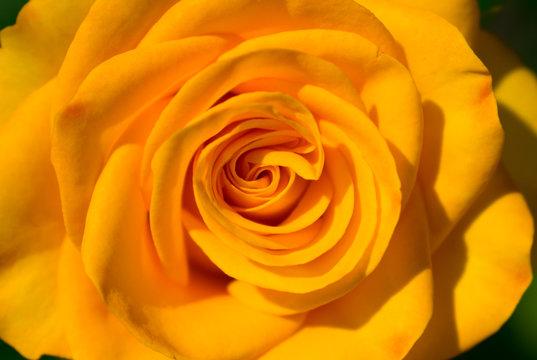Yellow rose flower. Close-up. Macro.