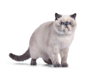 Wall Mural - Cute blue tortie point Exotic Shorthair kitten, standing side ways. Looking to camera with blue eyes. Isolated on white background.