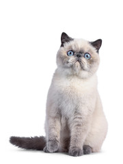 Wall Mural - Cute blue tortie point Exotic Shorthair kitten, sitting up facing front. Looking surprised to camera with blue eyes. Isolated on white background.