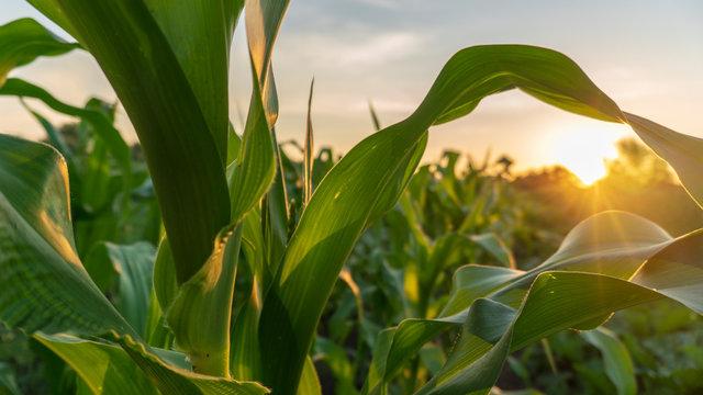 corn and sun close up