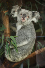 Queensland koala (Phascolarctos cinereus adustus).