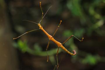 Stick insect (Periphetes forcipatus). Wildlife animal.