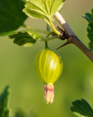 Small green gooseberries on a branch