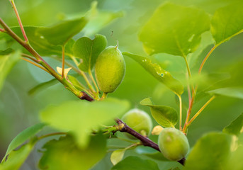 Small green apricot on a tree branch