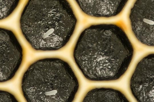 Close up of Honey Bee Eggs