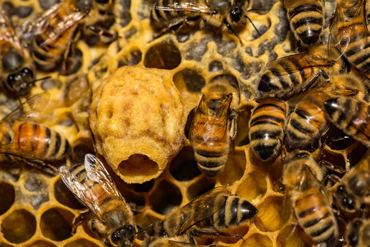 Honey Bee Emergency Queen Cell
