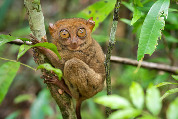 Philippine Tarsier in Its Natural Habitat in Bohol, Philippines Wall mural