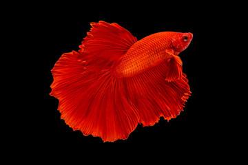 Foto op Plexiglas Vissen The moving moment beautiful of red siamese betta fish or fancy betta splendens fighting fish in thailand on black background. Thailand called Pla-kad or half moon biting fish.